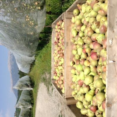 Début de la récolte de pommes William Rouges