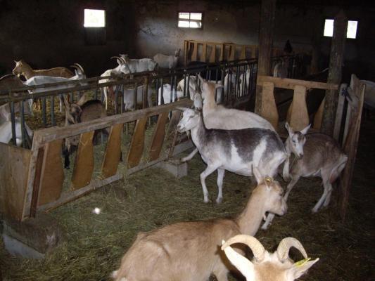 Troupeau dans la chèvrerie