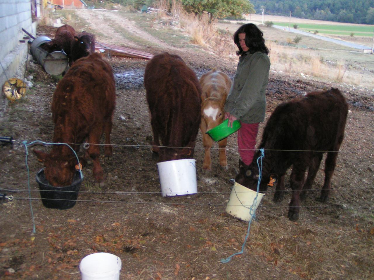 Valérie MAILLARD et les veaux nourris au grain
